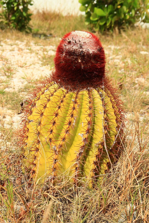 A Grand Turknek nevet adó kaktusz