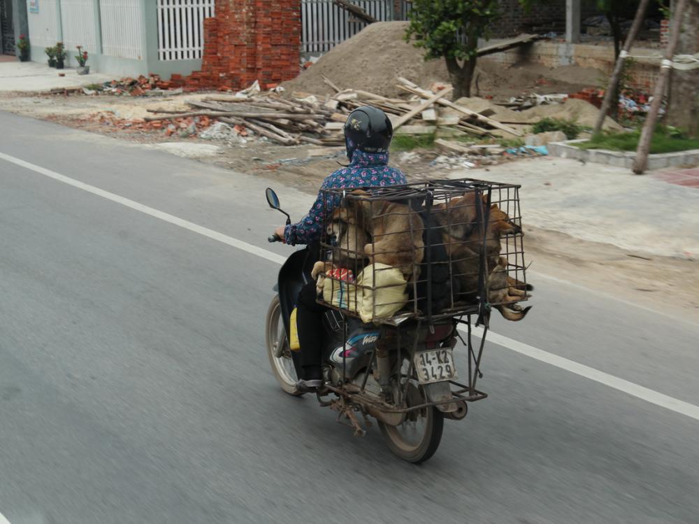 A hízott kutyákat a piacra viszik