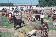 Állatvásár Shkodrában