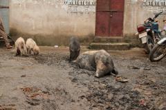 Disznók dagonyáznak Pushkarban