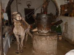 Saanaban egy teve segítségével sajtolják a szezámolajat