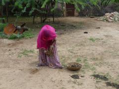 Bishnoi falvaknál trágyát szedő nő