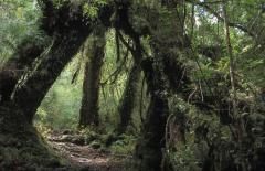 Mérsékelt öezeti esőerdő (Dél-Chile)