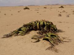 Welwitchia (Namib-sivatag)
