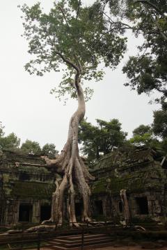 A növényzet pusztító hatása Angkorban (Ta Phrom)